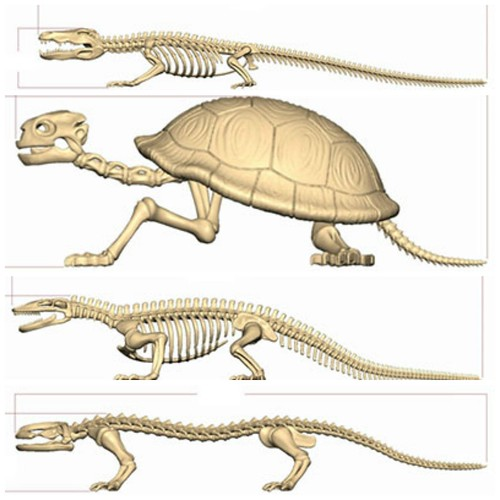 re ment pose skeleton reptile amphibian there are 4 of