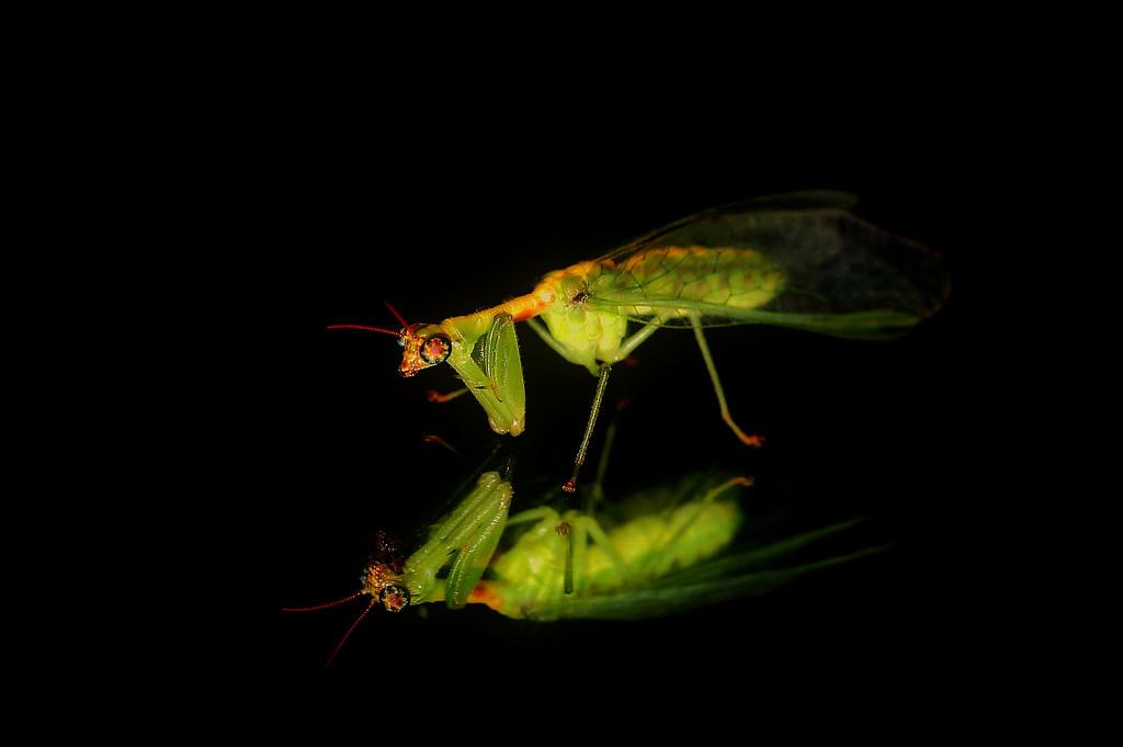Green Mantidfly Staten Island New York Lawrence