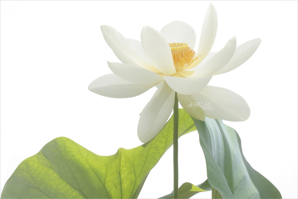 white lotus flower and backlit leaf on white background dd…  flickr, Beautiful flower