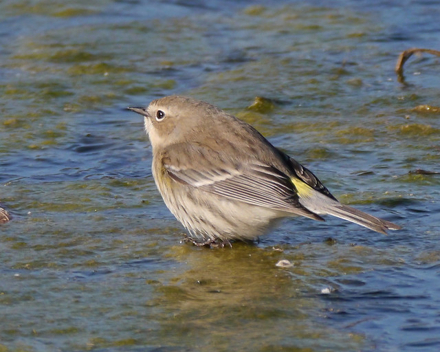 Yellow-rumped Warbler on Ice - 4