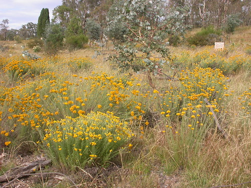 Clustered Everlastings thriving and spreading at The Fair (W.Pix, 28 December 2016)
