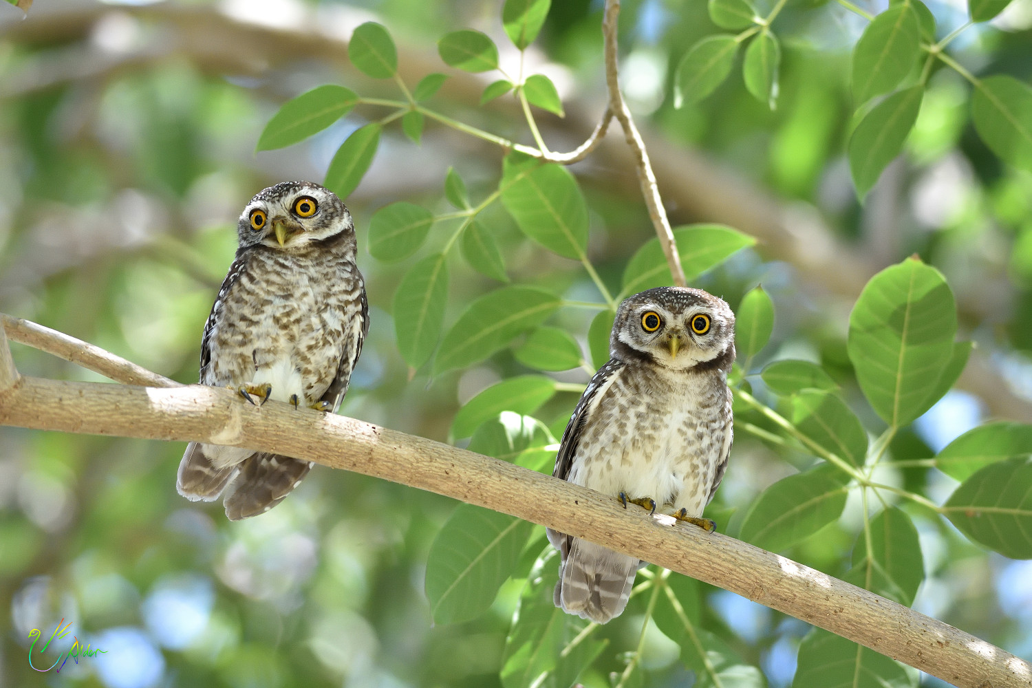 Spotted_Owlet_9264