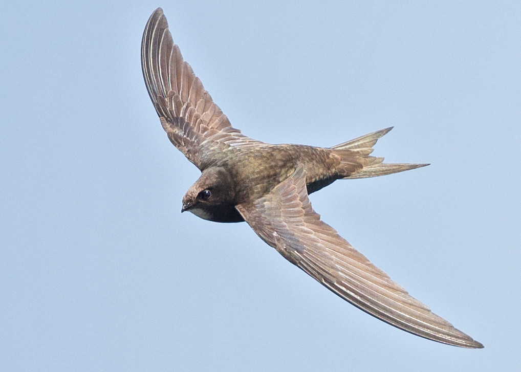 Pallid Swift  Bulgaria