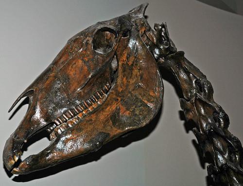 Equus Occidentalis  Fossil Horse   La Brea Asphalt  Upper