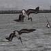 Brown Pelicans diving