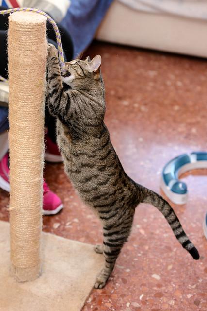 Tigris, gatita atigrada parda de ojazos verdes y cara redondita, tímida y sumisa esterilizada, nacida en Septiembre´15, en adopción. Valencia. ADOPTADA. 32607055761_13fd44dee6_z