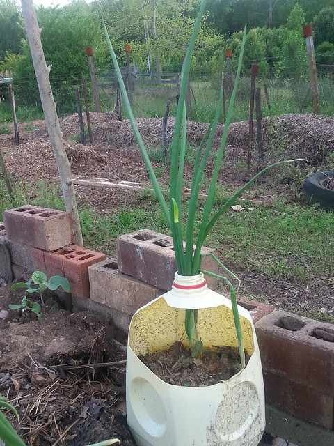 Regrown Onions 3