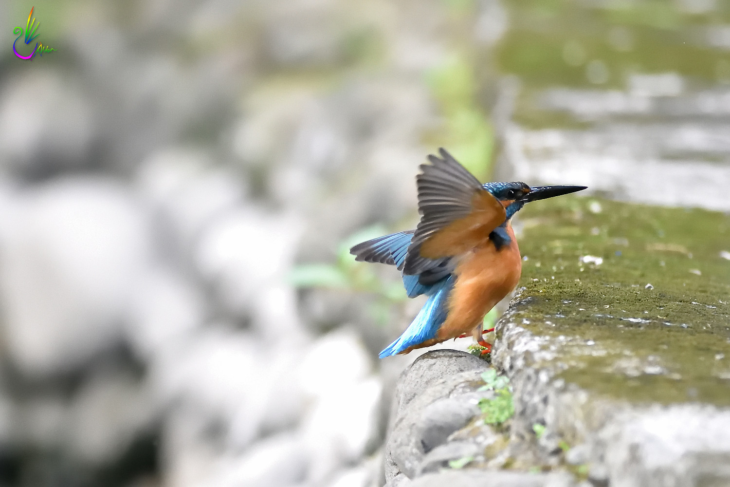 Common_Kingfisher_7071