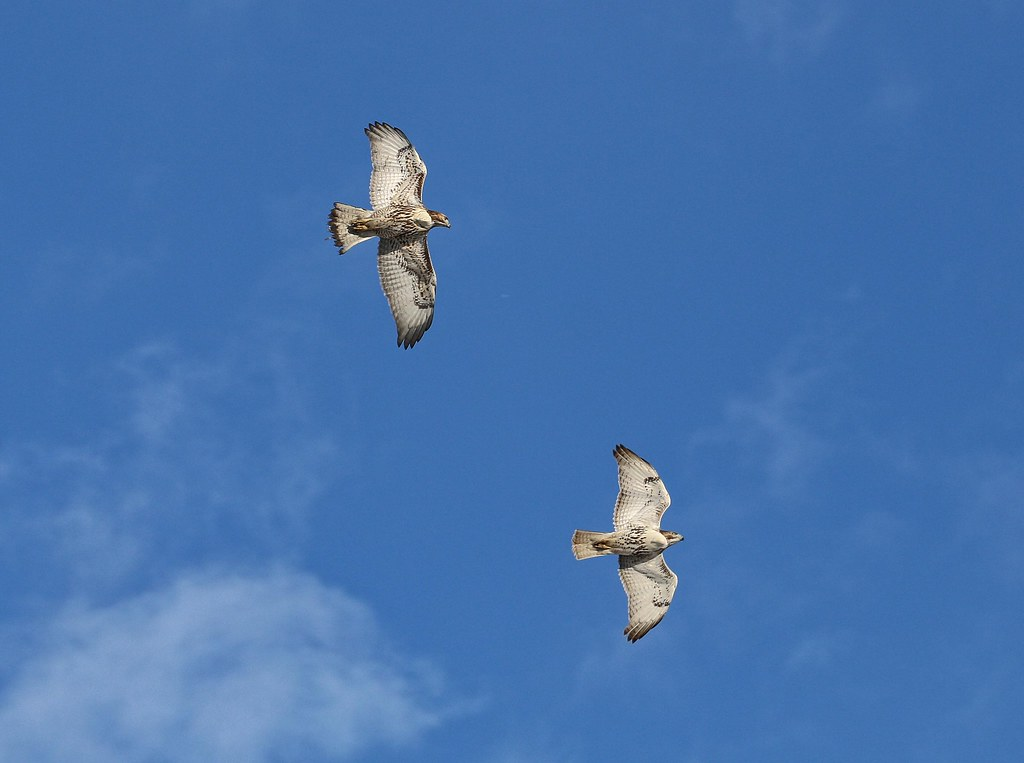 Juvenile red-tails