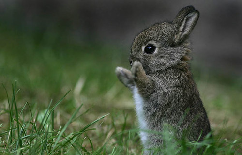 Baby Cottontail Rabbit | by Chief Trent