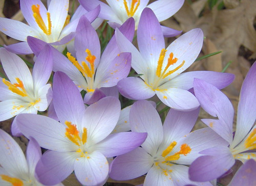 A gaggle of croci | by ~My aim is true~
