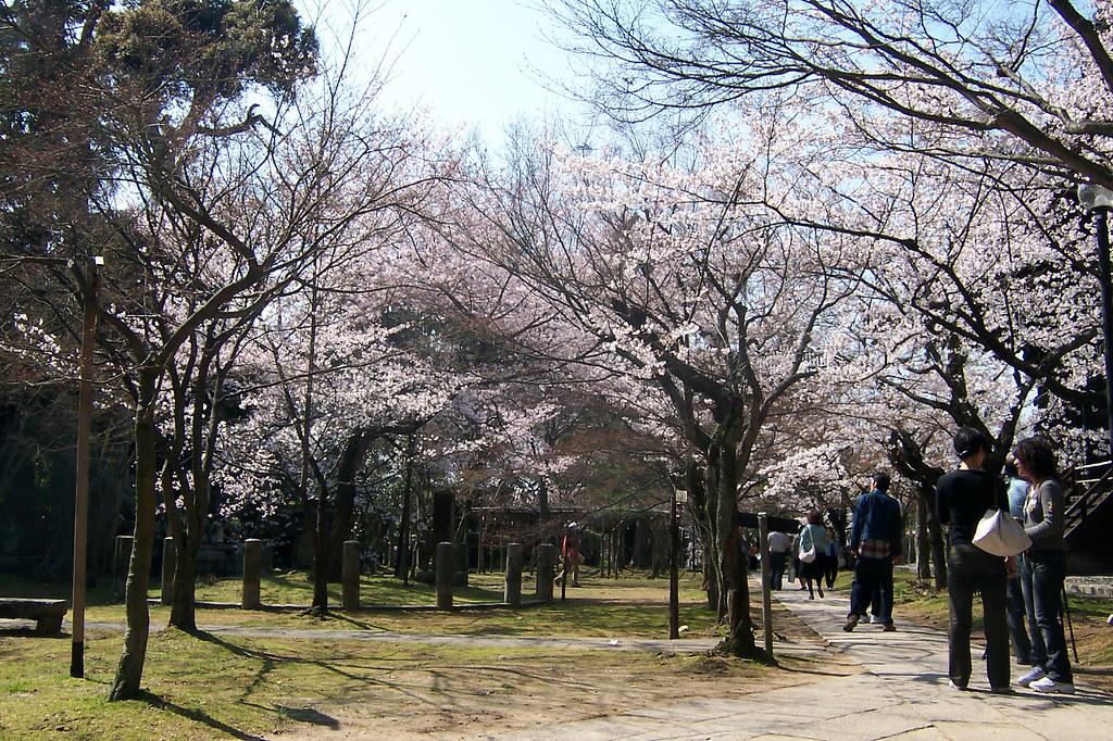 Shinyo-do sakura 03