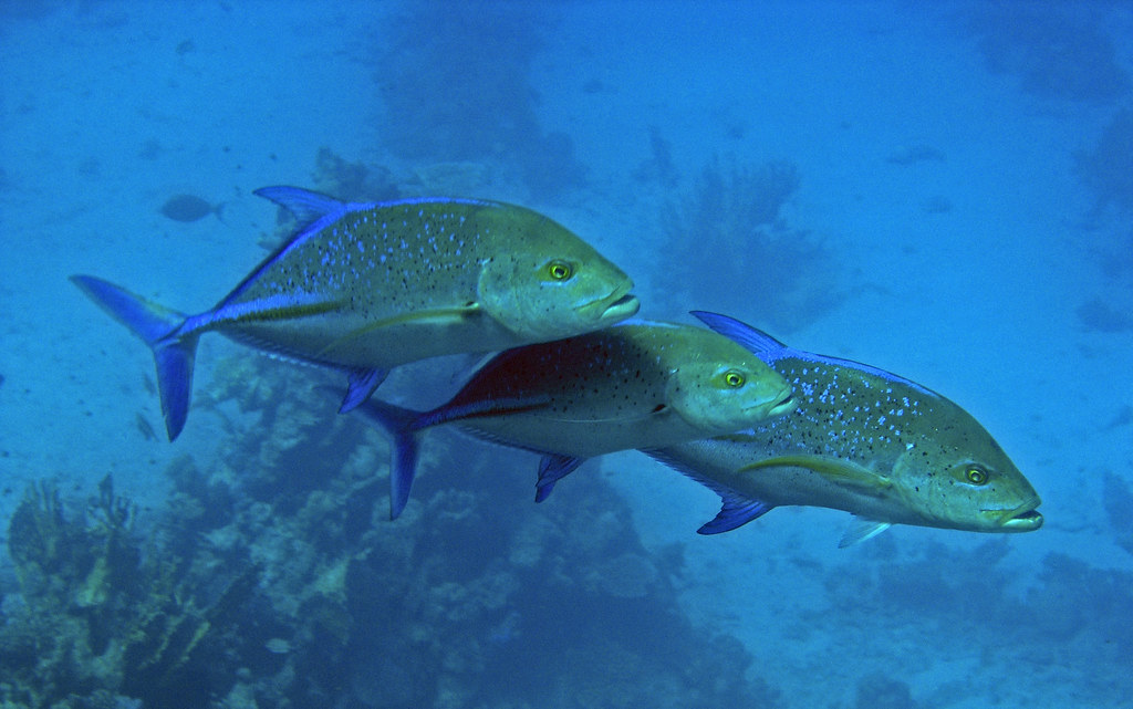 Three jackfish hunting red sea these three didn 39 t have for What is a jack fish