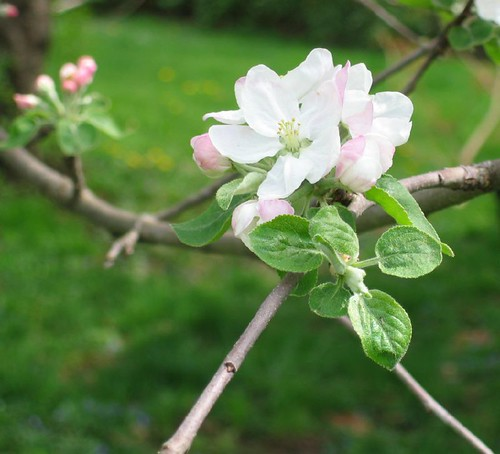 Spring apple blooms