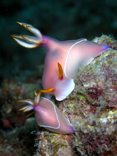 Hypselodoris bullocki mating! | by Coppertane
