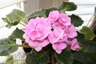 african violet | by africankelli