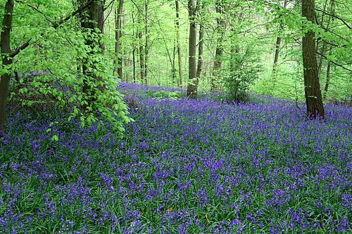 bluebell wood | by algo