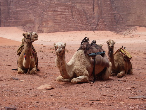 Our Camels | by Neil and Kathy Carey