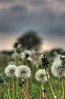 Dandelion Day | by jdurchen