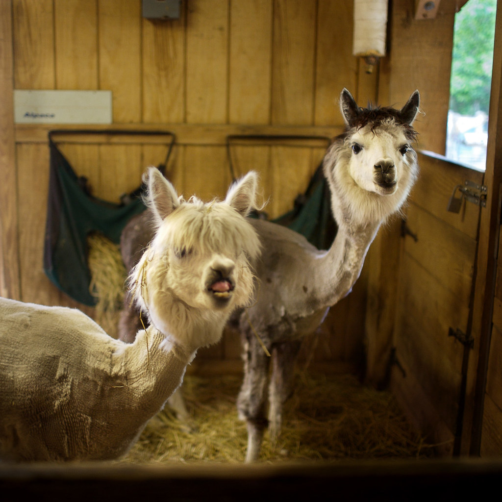 Two Sheared Llamas