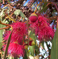 Eucalypt flowers | by Mundoo