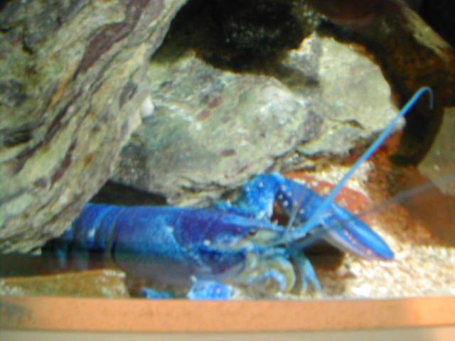 Blue Lobster Blue Lobster At Jenkinson 39 S Aquarium
