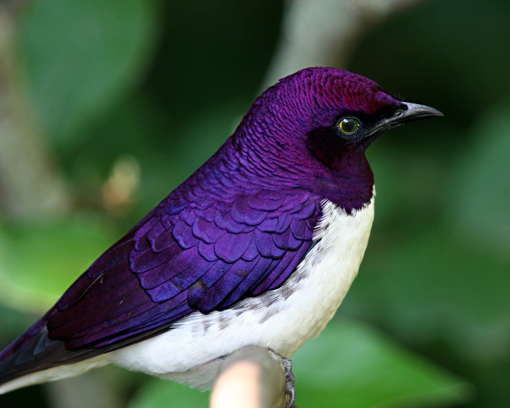 Violet Backed Starling Cinnyricinclus Leucogaster Flickr