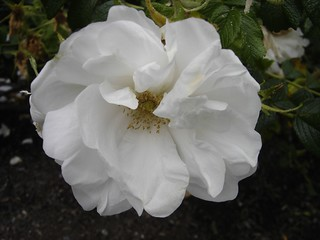 big_white_rose | by triviaqueen