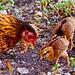 hen and peeps