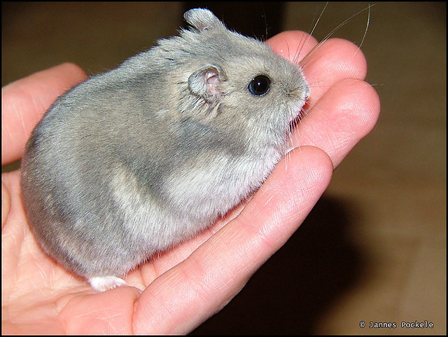 Big Hamsters is a Big Fat Hamster | by
