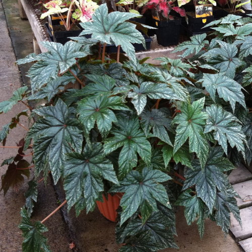 arkansas_begonia