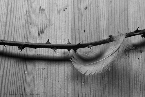 Feather & Thorns (b/w)