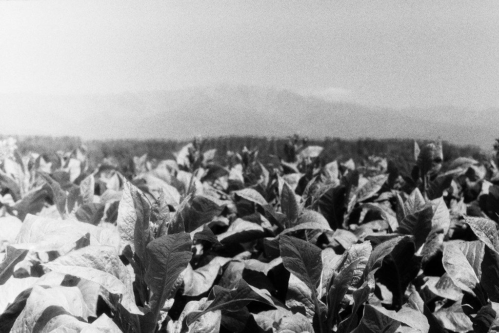 Campo de tabaco IV.