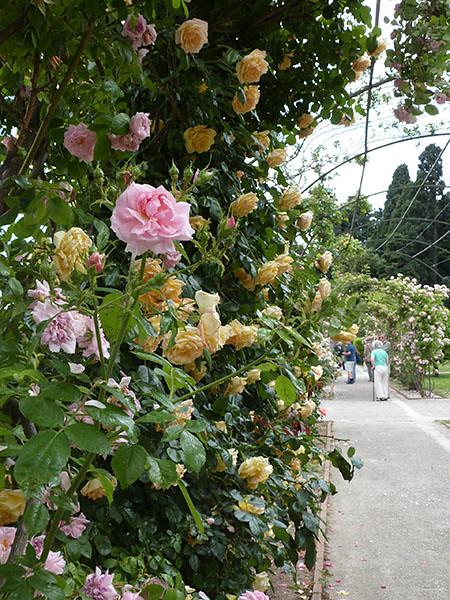 roses cimiez