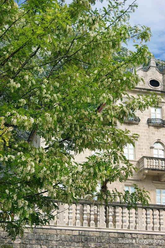 Дерево робинии ложноакациевой перед дворцом
