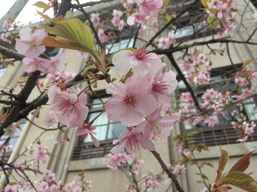 小学校の桜、たぶん河津桜 2017.2.5