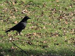Crow a bit closer