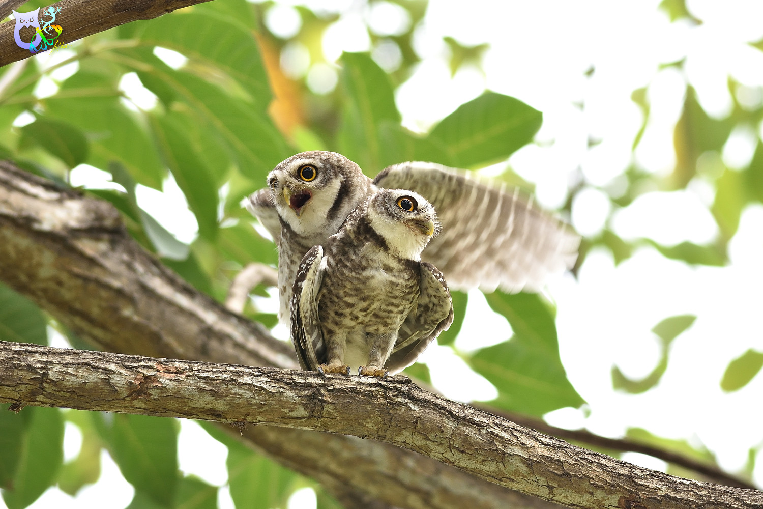 Spotted_Owlet_3281