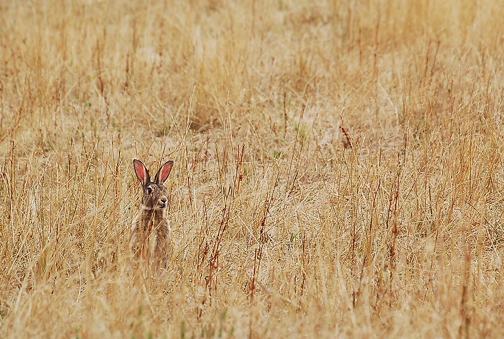 _rabbits_New-Norfolk_Tasmania_3_