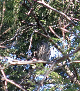 Barred Owl LENSC by Penny O'Connor