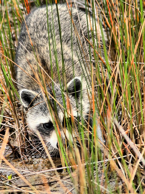 Raccoon HDR 20150602