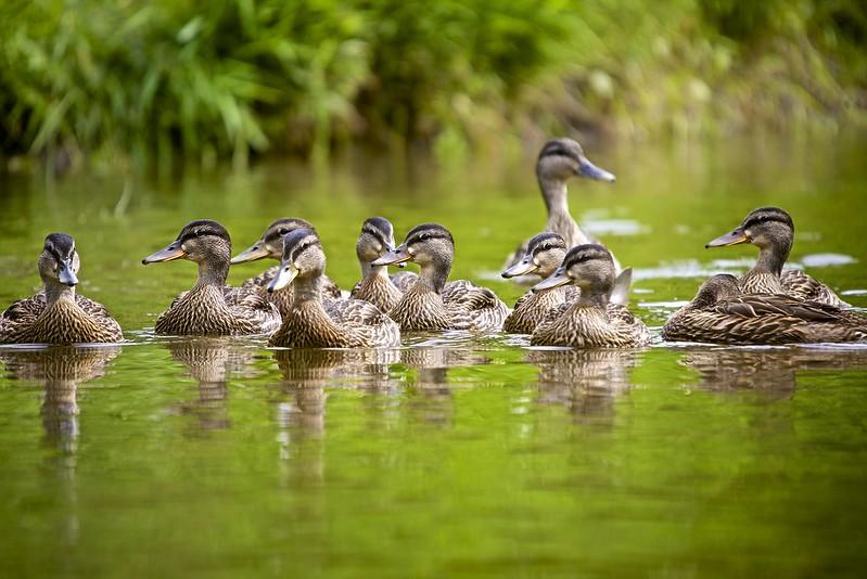 Ducks in Ottawa