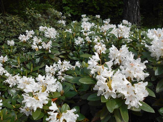 """Valkoalppiruusun (Rhododendron """"Cunningham's White"""") kukintaa 30.5.2015 Meilahden arboretum Helsinki"""