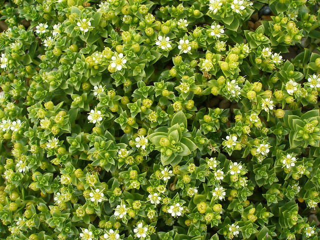 Sea sandwort at Cogden