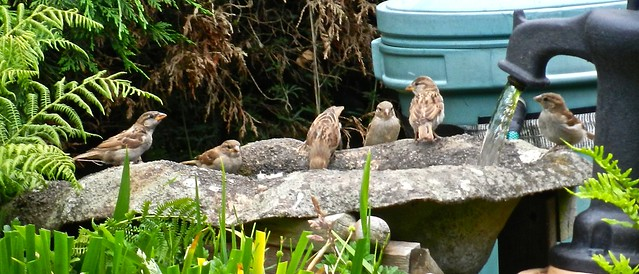 House Sparrows DSCN4794