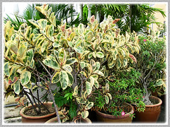 Potted Ficus elastica 'Variegata' at Church of Our Lady Of Lourdes, Klang - Nov 16 2013