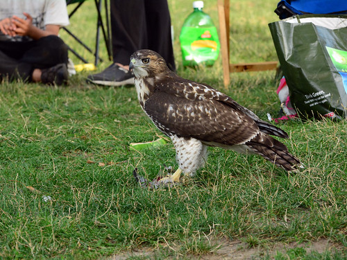 JHW Hawk Fledgling - 4327