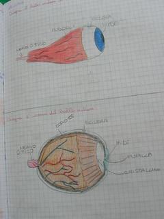 disegno dopo la dissezione