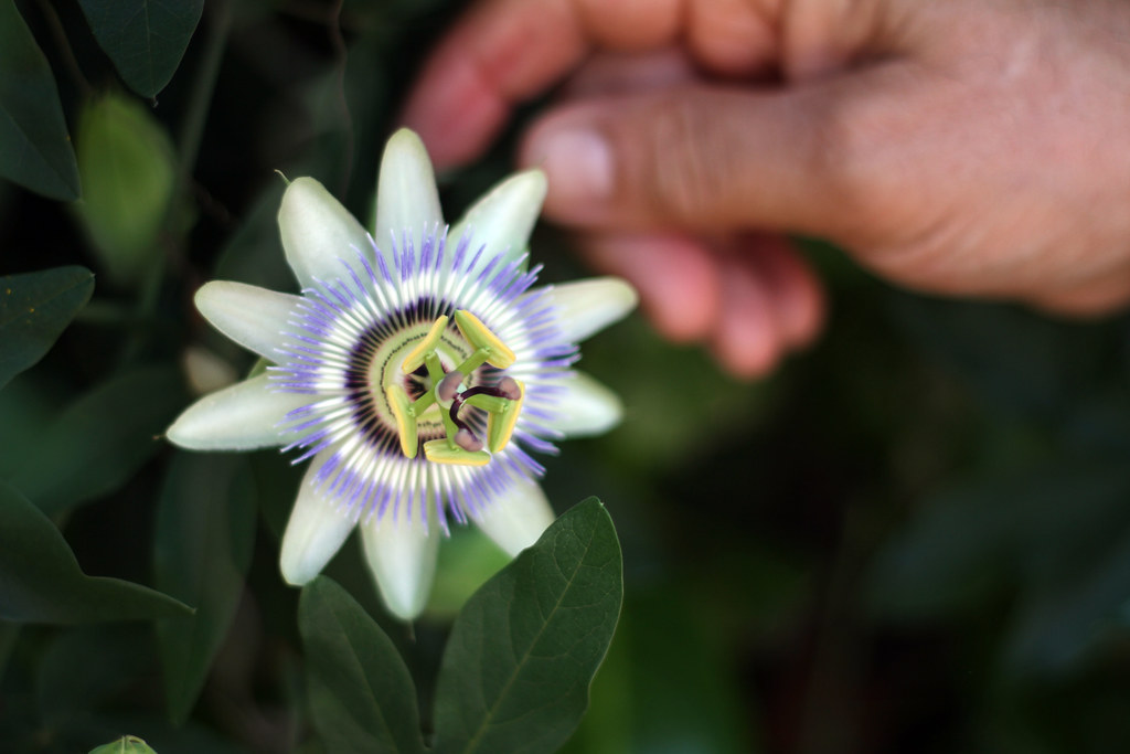 Passiflora - passion flower