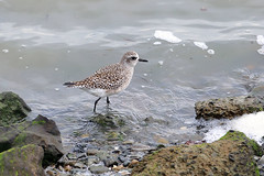 Grey plover (Black-bellied plover)